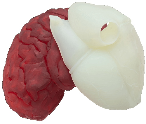 Anatomical model printed by the B9 Core Med 500 with BioRes - Red and white resins